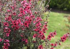 Tea Tree (Leptospermum) 'Pink Cascade' - small shrub with a weeping habit, showy flowers from spring to autumn, moist well drained soil, sunny to part shade Manuka Tree, Pink Garden, Dream Garden, Red Flowers, Pretty Flowers, Small Shrubs, Rare Plants, Edible Garden, Flowers