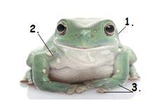 Pet Whites Tree Frog Care Sheet