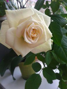 Rose, Flowers, Plants, Garden, Pink, Garten, Roses, Planters, Royal Icing Flowers