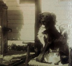 Smiling Border Collie dog sits on Tabby Striped Cat! Antique Cabinet Card photo