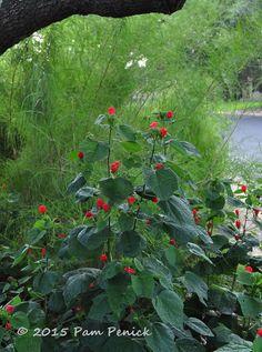 Plant This: Native Turk's cap (Malvaviscus arboreus var. drummondii)    Digging