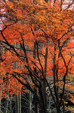Fiery Red Autumn Foliage, Winkworth Arboretum, Godalming, Surrey, England, UK