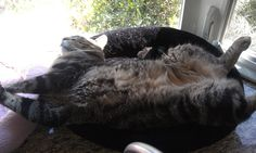 Lazy fat cat
