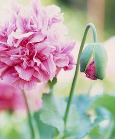 Sabrina Rothe Photography Peonies always found in my parent's garden -childhood memories