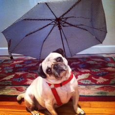 It was raining cats and pugs.