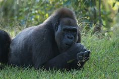 13 Big animals that may be extinct very soon: Can they be saved?  Western lowland gorilla that are full grown are hunted because their bushmeat are considered a delicacy. Baby gorillas are wanted for pets.