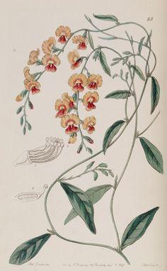 Belles fleurs - Belles fleurs 132 Chorozema spectabilis - Showy Chorozema - Gravures, illustrations, dessins, images