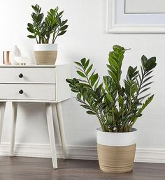 Named for its glossy-green leaves that alternate in a Herringbone fashion, it's no surprise our ZZ plant is the current darling of décor. Fake Plants Decor, Plant Decor, Indoor Plants Low Light, Tall Indoor Plants, Low Maintenance Indoor Plants, House Plant Delivery, Fresh Flowers Online, Zz Plant, Floor Plants