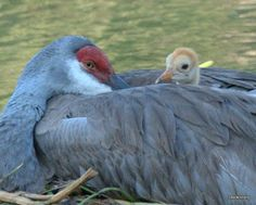 From Audubon Florida, Sand Hill Crane and chick by Chris Hicklin