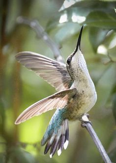 Ruby-throated | EasyBranches.com™
