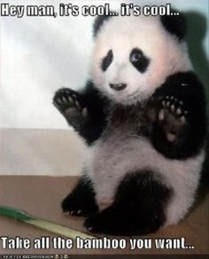 funny animal pictures, panda bears