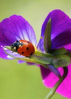 Ladybug by Lisa Knechtel
