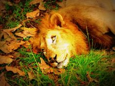 The Great Asiatic Lion :D