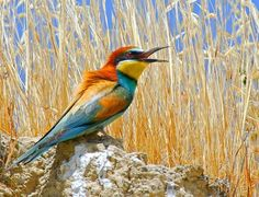 European Bee eater color ref Pictures Of Reptiles, Nature Pictures, Bird Wall Art, Bird Artwork, I Like Birds, Bee Eater, Weather Underground, Owl Bird, Colorful Birds