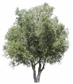 Olive tree, high quality png, transparent background.