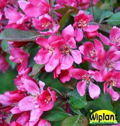 Malus, olika röda sorter. Prydnadsäppel. Blommar rosa i maj. Höjd: 3-5 m. Se de olika sorterna på anslagstavlan med Prydnadsäppelträd.