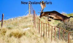 Free range, wild Fallow Buck on private land.