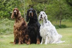 Dog Photograph - Three Different Setters by John Daniels