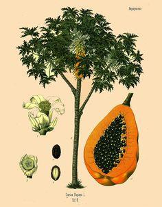 antique botanical print papaya fruit papaya tree by FrenchFrouFrou