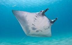 Primarily during the summer months, manta ray (Manta birostris) can be seen in the clear blue water of West Palm Beach, FL. This photo of a manta shows the unique pattern of its underside which researchers use to help identify individual manta rays. Manta Ray, Underwater Photos, During The Summer, Whale, The Incredibles, Stingrays, Beach, Blue, Animals
