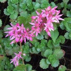 SEDUM SPURIUM -   Gröngula bladrosetter och rosa stjärnblommor medmörk mitt. Mattbildande. Lämplig...