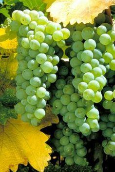 Grappoloni di uva bianca.