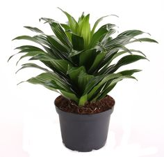 Types of Houseplant Bugs and Methods to Check Their Infestation Dracaena Deremensis Janet Craig Janet Craig Plant, Indoor Garden, Indoor Plants, Dracena Plant, Plants Delivered, Forever Green, Colorful Plants, Orchid Plants, Orchid Care