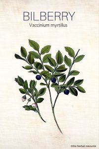 Bilberry - Health Benefits, Uses and Side Effects