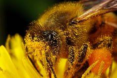 Пыльца пчелиная полезные свойства и как ее принимать