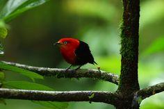 Foto uirapuru-vermelho (Pipra aureola) por Johann Tascon | Wiki Aves - A Enciclopédia das Aves do Brasil