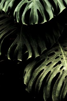 dark monstera leaves on black background - plant inspiration - outdoor living garden decor Δ The Wild Arcadia