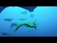 Marine wildlife of the #Azores, shot in 5K RED Epic - #video by Nuno Sá for Atlantic Ridge Productions 19.01.2015 #portugal