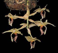 Stanhopea panamensis by Ricardo in PR, via Flickr