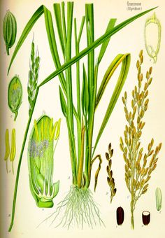 Oryza sativa botanical diagram.