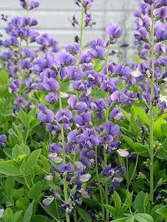 Baptisia. Full sun, good drainage. Blooms for a month in late Spring. 3-4 feet tall by 3 feet wide.