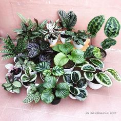 #plantasdecoracion #varieties #calatheavarieties