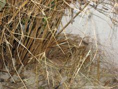 Frankolijnkwartel op het nest.