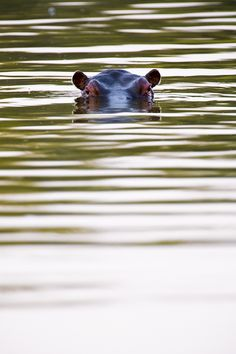 Hippo Peeking ... in the Serengeti National Park.
