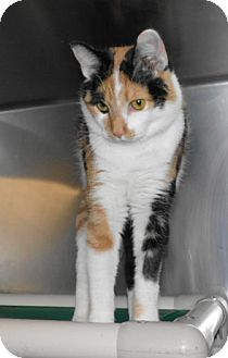 Frenchburg, KY - Calico. Meet Kim, a cat for adoption. This pet is now available for adoption to a good and loving home. If you have a lot of love to share with a best friend please adopt one of our wonderful pets. All pets are up to date on shots, have been dewormed, and vaccinated for bordetella. Menifee County Animal Shelter