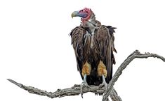Lappetfaced vulture high key image was taken on a self-drive in the Kruger National Park vulture Kruger National Park, National Parks, Wildlife Photography, Fine Art Photography, Cool Pictures, Cool Photos, Lion Images, Game Reserve, Vulture