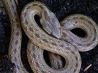 La culebra de cogulla,2 (Macroprotodon mauritanicus), es una especie de serpiente de la familia Colubridae.  Ofidio de distribución mediterránea, antiguamente era una subespecie de Macroprotodon cucullatus,3 llega a medir hasta 66 cm de longitud, presenta collar nucal dividido y una banda postorbital oscura normalmente corta.  Distribución[editar] Se encuentra por el norte de Argelia y Túnez. Fue introducida en las Islas Baleares en épocas históricas.