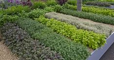 Companion Planting Herbs: What Herbs Grow Well Together - Are you planting a herb garden? You'll want to know these tips for companion planting herbs. Garden Design, No Grass Backyard, Plants, Lawn Alternatives, Herb Garden, Artificial Grass, Medicinal Herbs Garden, Planting Herbs, Companion Planting