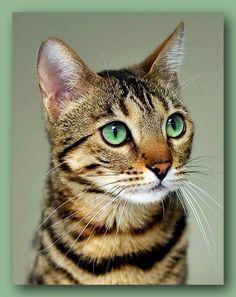 Green-eyed Bengal cat