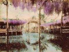 「亀戸天神の藤棚」手彩色古写真