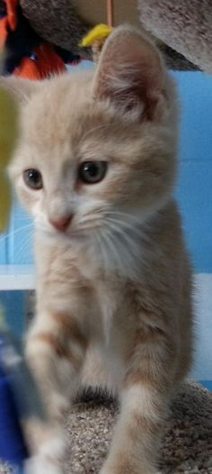 Meet Ross 22519, a Petfinder adoptable Domestic Short Hair Cat | Prattville, AL | Ross is a 9 week old cream/white, male tabby kitten.Dogs and puppies may be adopted for a fee of...