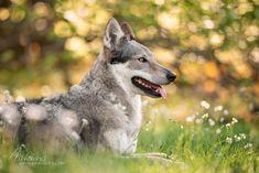 Vlk Hospital Design, Dog Photography, Husky, Dogs, Animals, Animales, Animaux, Pet Dogs, Doggies