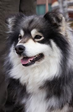 Finnish Lapphund- affectionate- gentle and cheerful dogs. Easy to train