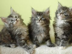Maine Coon Cat colors Info | Maine Coon kittens Wallpapers