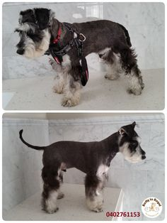 This sweet little one is a Schnauzer🐶 as well. His name is Chezy, he is still puppy and absolutely out of control ha-ha 😃)) When I took him for a walk before and after his grooming, Chezy was so excited that he was actually walking on his rear legs like a human🏃 pulling me forward 💨 He is sooo energized that his mum Ada decided to take him to a proper training school for puppies 🐶🐶🐶 Thank you Ada and Chezy for visiting Ratty to Regal this afternoon! 😊 See you next time 🐾🐕 Ratty to…