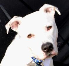 GREAT BOY!  Ice-HSCCL is an adoptable Pit Bull Terrier Dog in Plano, TX. https://www.facebook.com/photo.php?fbid=470063753029882=a.470063539696570.99660.155194581183469=1 This dog is available to...